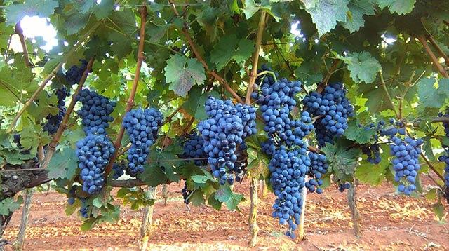 Cabernet Sauvignon - OH Bernobić wine