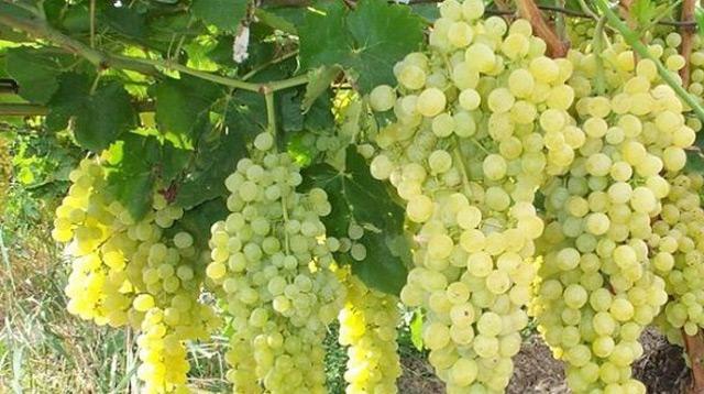 Chardonnay - OH Bernobić wine