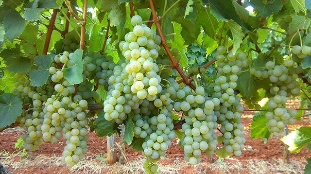 Malvazija - OH Bernobić wine